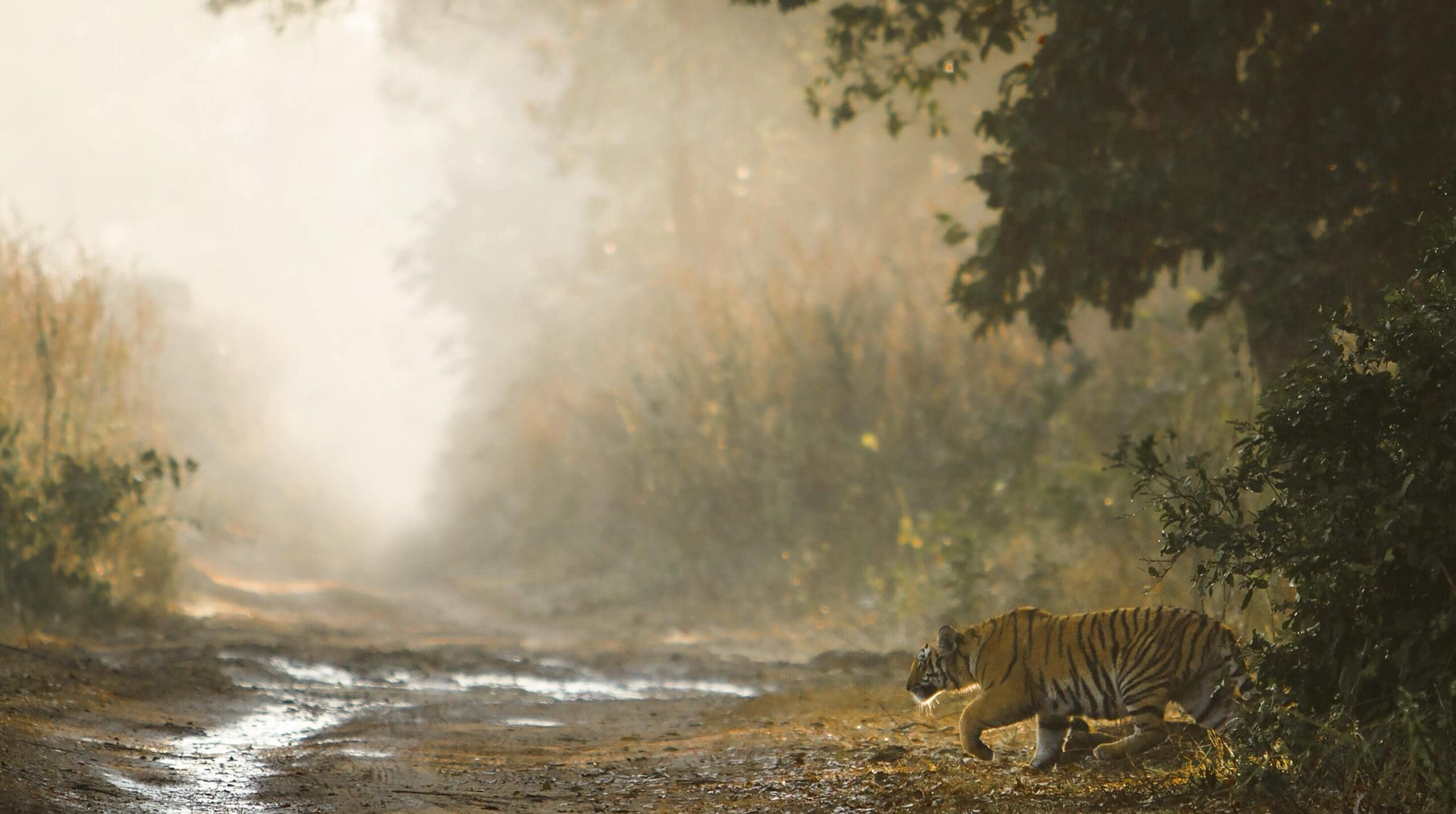 Tiger in India national park