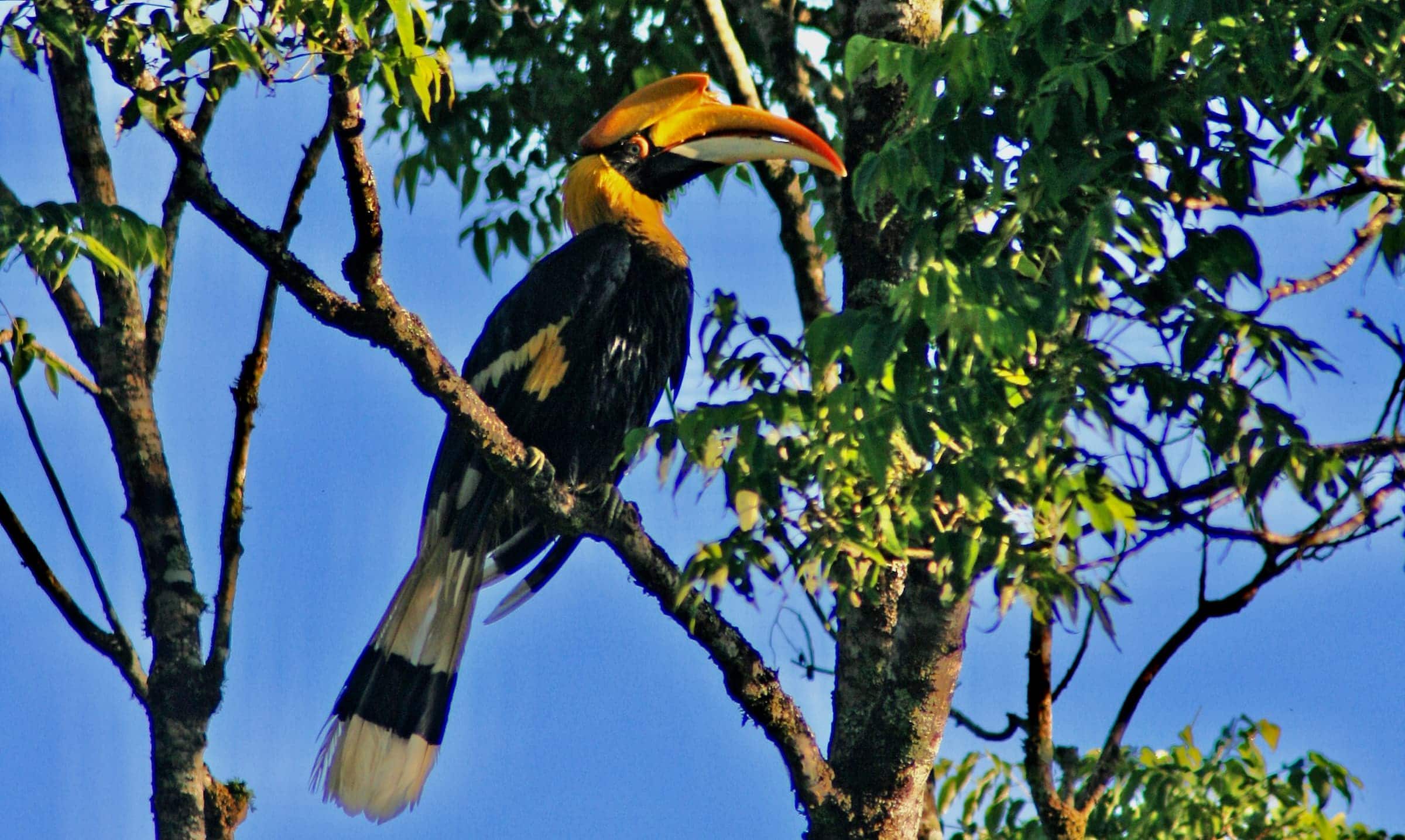 Great Indian Hornbill on a branch in the canopy of a forest with blue sky as background