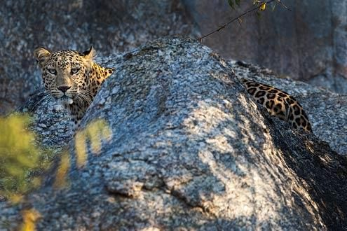 Leopard Safari in the Jawai