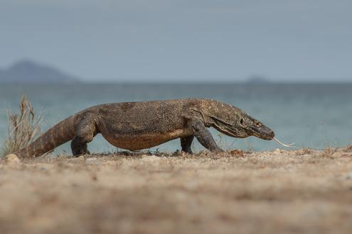 Komodo's Wildlife