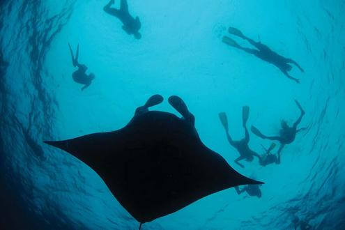 Swim with manta rays