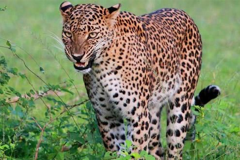 Leopard Trails Wilpattu