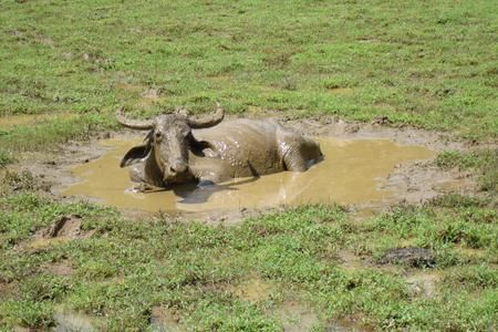Water Buffalo in Sri Lanka