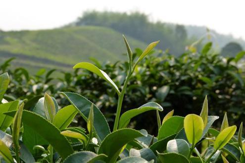 Tea Plantations of Northern Thailand